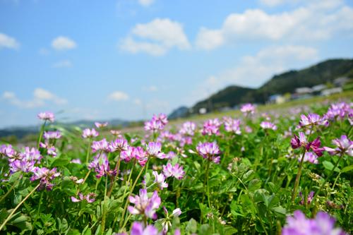 れんげ畑.jpg